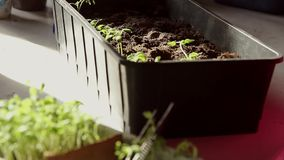 The hand of a adult woman are planting the seedlings into containers with the soil. stock video footage