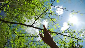 Hand against the background of a clear blue sky and blossoming leaves. Spring nature: a hand against the background of a clear blue sky and blossoming buds in stock video