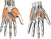 Hand Anatomy royalty free stock photography
