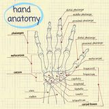 Hand Anatomy. Drawing anatomy of the hand - bones Royalty Free Stock Images