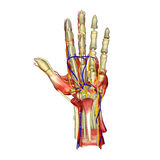 Hand Anatomy. The hand is an intricately complex structure whose muscles have evolved to permit an unequalled array of movements. More than 30 individual muscles royalty free stock images