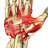Hand Anatomy. The hand is an intricately complex structure whose muscles have evolved to permit an unequalled array of movements. More than 30 individual muscles stock image