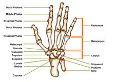 Hand anatomy isolated. The bone of the hand anatomy isolated concept royalty free stock photo