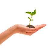 Hand And Sprout Royalty Free Stock Photography