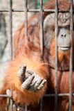 Hand of Ape Royalty Free Stock Photo