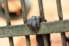 Hand of the ape. Ape hand grasping on the cage stock photos