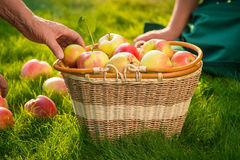 Hand and apple basket. Stock Photography