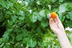 Hand with apricot Royalty Free Stock Photography