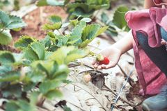 Hand of asian little child girl picking fresh strawberries. On organic strawberry farm Royalty Free Stock Photography