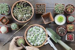Hand of Asian man with forceps breeding cactus on wooden backgro. Und topview flatlay Stock Photos
