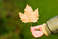 Hand in autumn leaf Stock Image