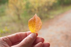 A hand with an autumn leaf from a tree against the background of an autumn park or forest. stock photography