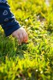 Hand av barnpickin en tusensköna Arkivfoton