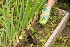 Hand av bondeWeeding Tool Hoe gräs i grönsakträdgård royaltyfri bild