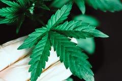 Hand av den medicinska arbetaren och växt och sidor av sidor för marijuana för marijuana för sh växt för cannabismakro medicinska Royaltyfria Foton