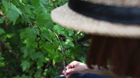 Hand av den unga kvinnan som väljer den svarta vinbäret i trädgård stock video