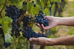 Hand av en ung man som trycker på druvor under skörd i en vingård arkivbild