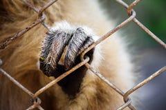 hand av gibbon som sätta sig buren arkivbilder