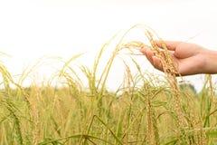 Hand av hållande ris för kvinna i risfältfält Arkivbild
