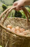 Hand with bascket of fresh eggs green backsground. Close-up of hand with basket with organic eggs in straw. Green defocused background, in chicken farm royalty free stock photo
