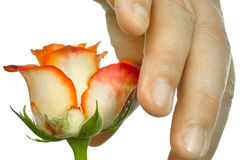 Hand on the Beauty Rosaceae. Royalty Free Stock Image