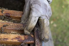 Hand Of Beekeeper Royalty Free Stock Image