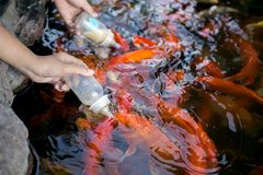Hand being carp feeding with milk. Close up of hand being carp feeding with milk in the fish pond Stock Photo
