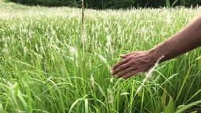 Hand berührt Gras auf dem Gebiet stock video footage