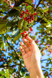 Hand with berries Royalty Free Stock Photos