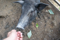 Hand and Black Pig Royalty Free Stock Images