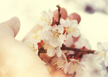 Hand and blossoming branch Stock Images
