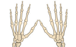 Hand bone. Digital illustration of hand bone in isolated background Stock Photography