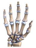 Hand bone anatomy. Anatomy of bone hands on a white background stock illustration