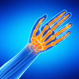 The hand bones Stock Photography