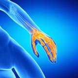 the hand bones Stock Photos