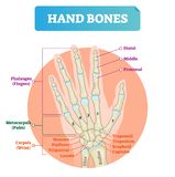 Hand bones vector illustration. Labeled educational arm structure. vector illustration