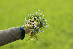 Hand with Bouquet of Flowers. Hand with Bunch of Meadow Flowers with Green Field Behind Royalty Free Stock Photography