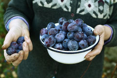 Hand and bowl with blue plums Stock Image