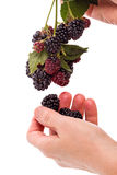 Hand with a branch blackberry Royalty Free Stock Images