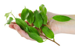 Hand and branch with green leaves Stock Photos