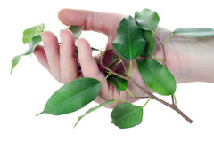 Hand and branch with  leaves Stock Image