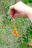 Hand with a branch of sea-buckthorn Stock Image