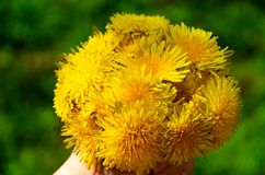Hand with bright bouquet of yellow dandelions stock photo