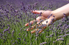 Hand brushing lavender flowers Stock Images