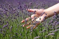 Hand brushing lavender flowers. Female hand brushing lavender flowers in the field stock images