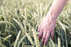 Hand Brushing Through Wheat Field stock photography