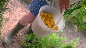 Hand with bucket of fruits. Man in rubber boots. Ripe and juicy cherry plums. Main ingredient for homemade jam stock footage
