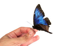 Hand and Butterfly. A blue butterfly on a hand isolated on white Stock Photos