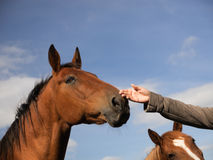 Two horse Royalty Free Stock Images