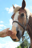 Hand caressing horses Stock Photography